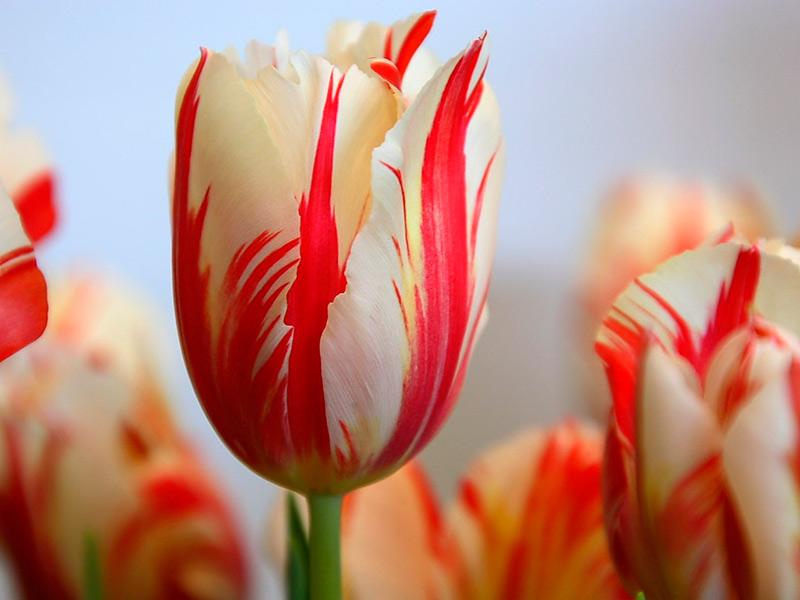 tulipan_rembrandt_2